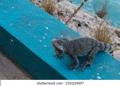 Green iguana begging for food in a resort on the tropical island of Bonaire in the caribbean