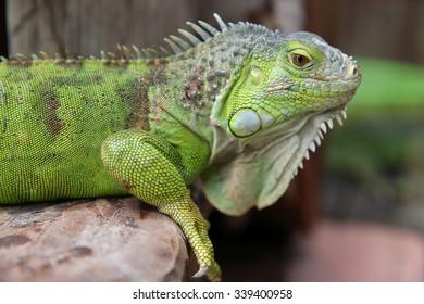 Green Iguana closeup