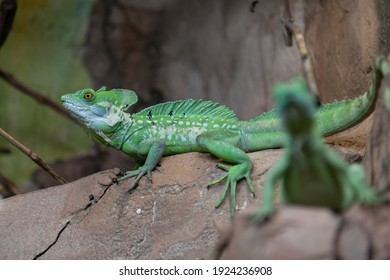 Green iguana with a comb on the back and on the tail sits on a stone close-up