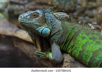 Green Iguana Common or American iguana on branch