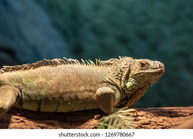 Green iguana or Common iguana  Is a species of iguana native to Central and South America