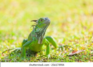 Green Iguana is crawling on the ground.