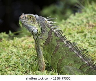 Green iguana with dark brown bands has a leaf stuck to its chin as it stands in green grass with a dark background.