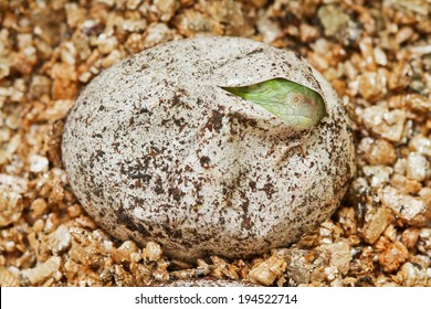 green Iguana in the egg.