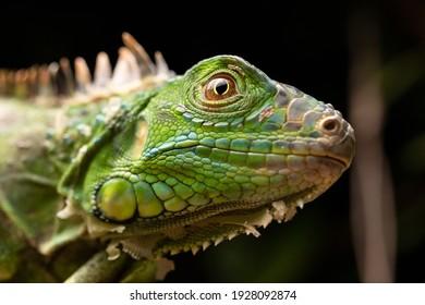 Green Iguana Face Eye Scales Close-up
