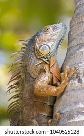 Green iguana (Iguana iguana), Florida, United states