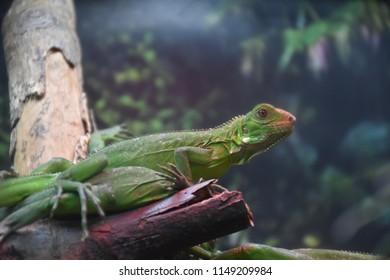 the green iguana of Guadeloupe