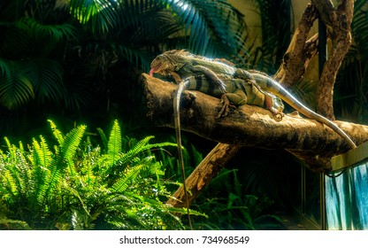 Green Iguana has become popular in the pet trade. he green iguana, also known as the American iguana, is a large, arboreal, mostly herbivorous species of lizard of the genus Iguana.