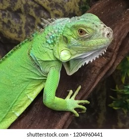 Green iguana, head, it is larger than many lizards. After sleep, the animals climb up the branches and are stationary for several hours, warming their limbs.