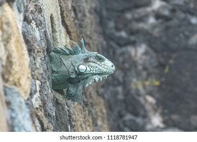 Green iguana hidden in a hole of stone wall, in Guadeloupe, the Saintes island