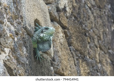 Green iguana hidden in a hole of wall, in Guadeloupe, The Saintes island