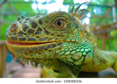 Green iguana with his mouse slightly open