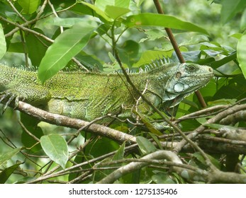 Green iguana (Iguana iguana) Iguanidae family. Amazon rainforest, Brazil