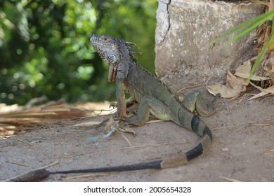 Green iguana at Isla Cuale, Puerto Vallarta