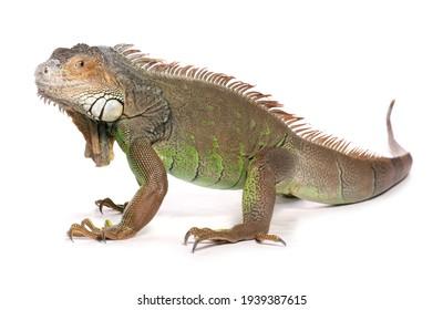 Green Iguana isolated on a white background