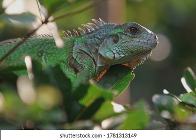 The green iguana (Iguana iguana), also known as the American iguana,