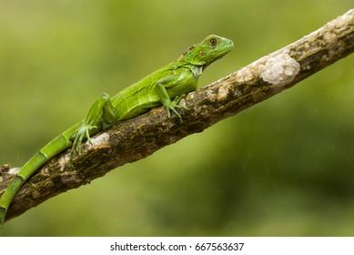 The green iguana (Iguana iguana), also known as the American iguana