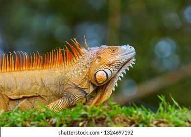 The green iguana, also known as the American iguana, is a large, arboreal, mostly herbivorous species of lizard of the genus Iguana. Usually, this animal is simply called the iguana. Costa Rica