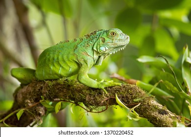 Green iguana, also known as the American iguana, is a large, arboreal, mostly herbivorous species of lizard of the genus Iguana. It is native to Central America, South America, and the