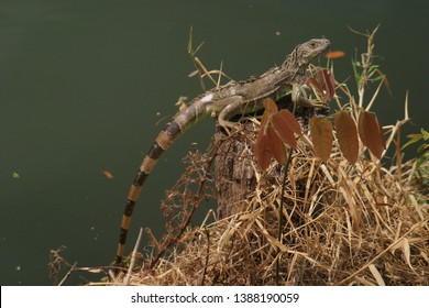 The green iguana, also known as the American iguana, is a large, arboreal, mostly herbivorous species of lizard of the genus Iguana. It is native to Central America, South America, and the Caribbean.