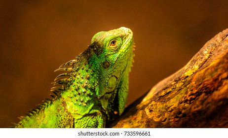 green iguana, also known as the American iguana, is a large, arboreal, mostly herbivorous species of lizard of the genus Iguana.