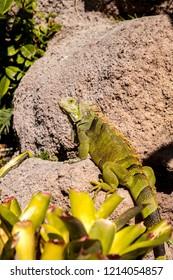 Green Iguana also known as Iguana iguana basks on a rock in Miami, florida