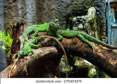 Green iguana. Iguana - also known as Common iguana or American iguana. Lizard families, look toward a bright eyes looking in the same direction as we find something new life. Location in Saigon Zoo.
