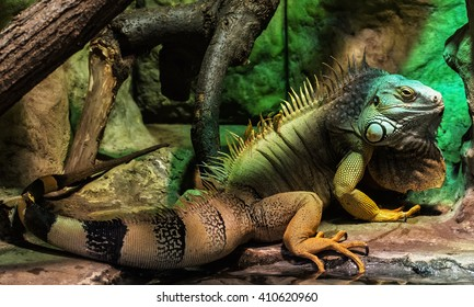 Green iguana - Iguana iguana- also known as Common iguana or American iguana, is a large, arboreal, mostly herbivorous species of lizard of the genus Iguana native to Central, South America.