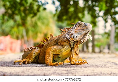 Green iguana. iguana- also known as Common iguana or American iguana, is a large, arboreal, mostly herbivorous species of lizard of the genus Iguana native to Central, South America.