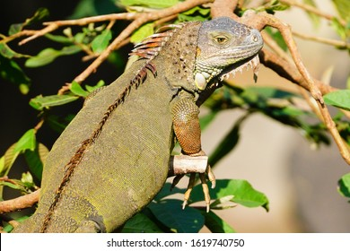 Green Iguana (Iguana iguana) is a large arboreal, mostly herbivorous lizard native to the Central America. It is an agile climber, and is able to swim underwater using its tail to evade predators.