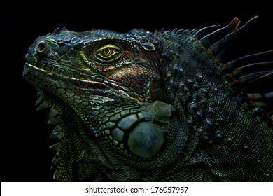 Green Iguana The green iguana is a large, arboreal, mostly herbivorous species of lizard of the genus Iguana native to Central, South America, and the Caribbean.