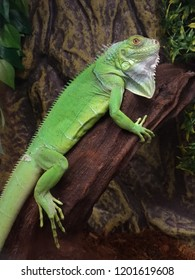 Green iguana is larger than many lizards. After sleep, the animals climb up the branches and are stationary for several hours, warming their limbs.