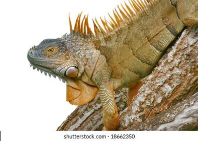 green-iguana-latin-name-260nw-18662350.j