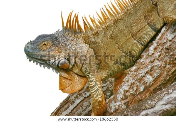 green-iguana-latin-name-600w-18662350.jp