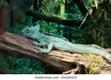 Green iguana laying on wooden branch in a terrarium. Closeup. Side view. Selective focus.