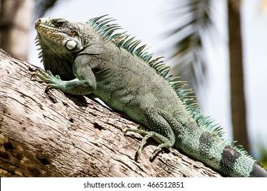 Green Iguana lizard, tropical creature, climbing palm tree in caribbean island of Guadeloupe.