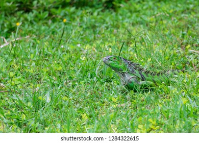Green iguana (iguana iguana) lying camoflaged in grass - Topeekeegee Yugnee (TY) Park, Hollywood, Florida, USA