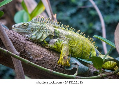 The green iguana is lying on the truck. It also is known as the American iguana, is a large, arboreal, mostly herbivorous species of lizard of the genus Iguana.