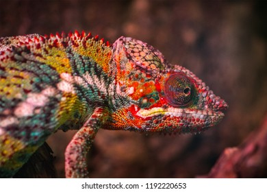 Green Iguana on branch, Close-up portrait of a resting colourful iguana, Lizard Iguana, in a cave where lizards live, Cold blooded green iguana clings to palm tree as he warms himself in the sunshine