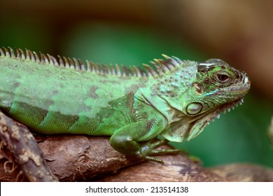 Green Iguana on a branch of tree