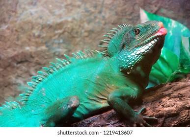Green iguana on brown log.