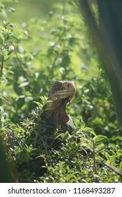 Green iguana on french Island