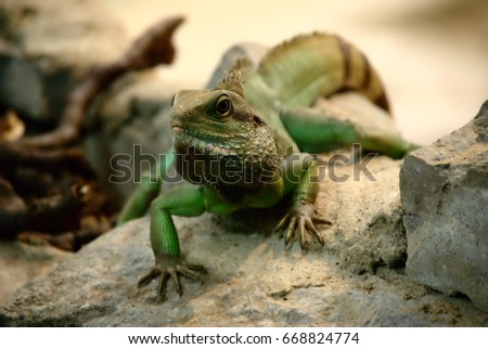Green iguana on rock
