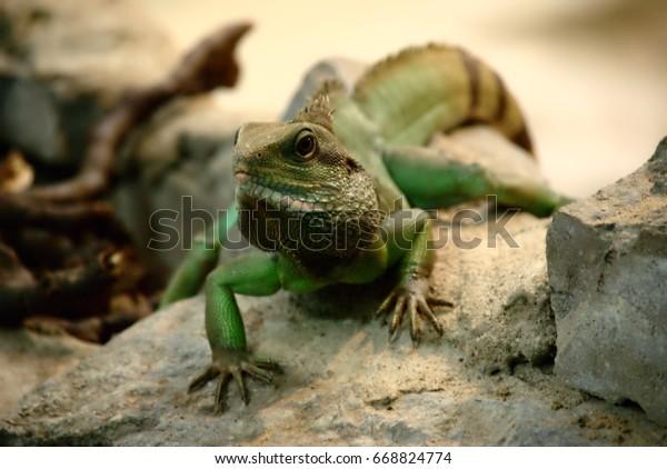 Green iguana on rock