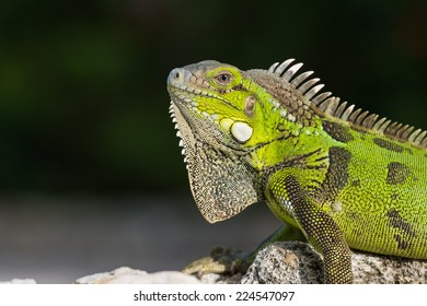 Green iguana (Iguana iguana) on a rock at Curacao