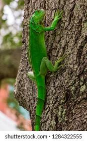 Green iguana (iguana iguana) on southern live oak tree - Davie, Florida, USA