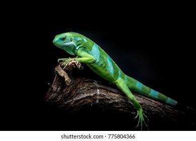 Green Iguana on a tree