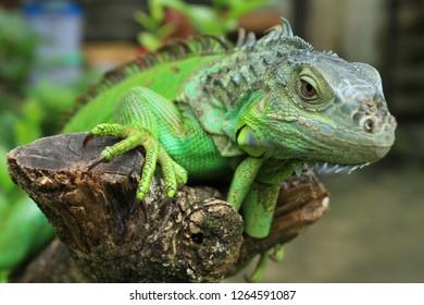 Green Iguana on A Tree Branch