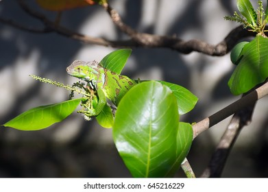 Green iguana on tree branch - Martinique tropical island