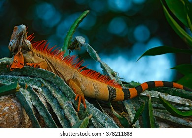 Green iguana, Iguana iguana, portrait of orange big lizard in the dark green forest, animal in the nature tropical forest habitat, Corcovado National Park, Costa Rica.
